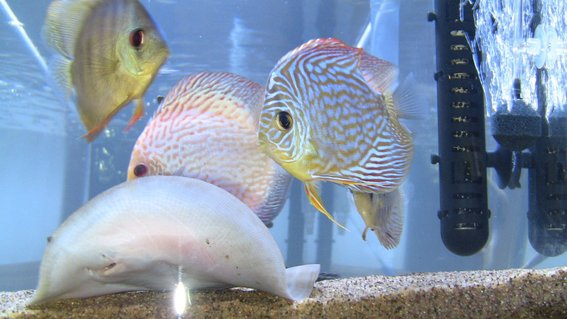 Rated #43: Freshwater Fish - Symphysodon Sp. - Snakeskin Discus Stocking In 75 Gallons Tank