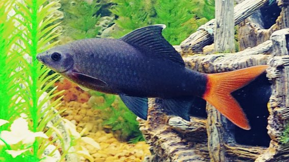 "Rated #10: Freshwater Fish Stocking In 65 Gallons Tank - My Redtail Shark ""Wanda"""