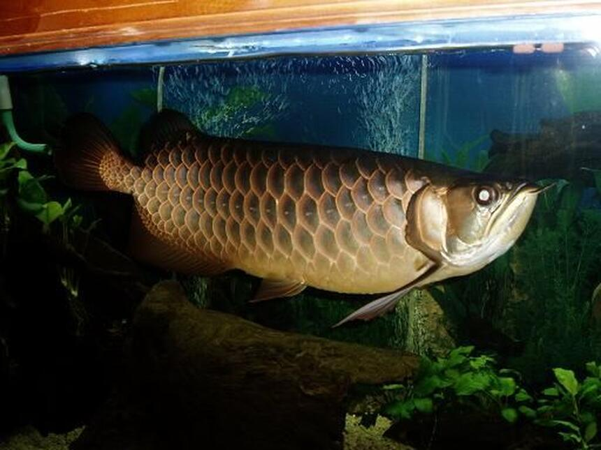 Rated #2: Freshwater Fish - Scleropages Jardini - Jardini Arowana Stocking In 250 Gallons Tank - Here,s another photo of Bruce my baby