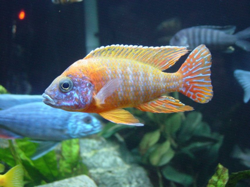 Rated #22: Freshwater Fish - Aulonocara Rubescens - Ruby Red Peacock Stocking In 90 Gallons Tank - Aulonocara Sp. German Red