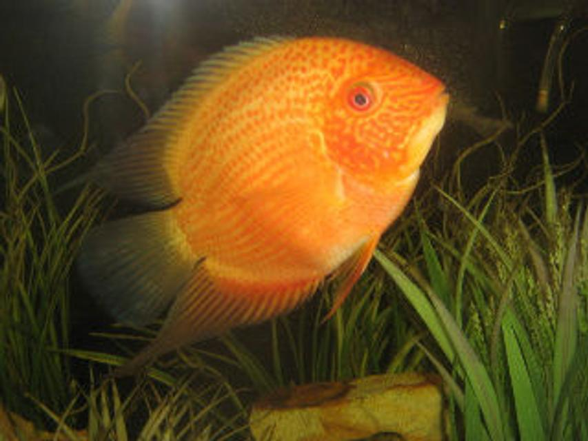 "Rated #78: Freshwater Fish - Heros Serverus - Gold Severum Stocking In 30 Gallons Tank - My gold serevum is awesome!! His name is orange fish, he is about 5"" and still growing. He even likes to be pet. I love this guy."