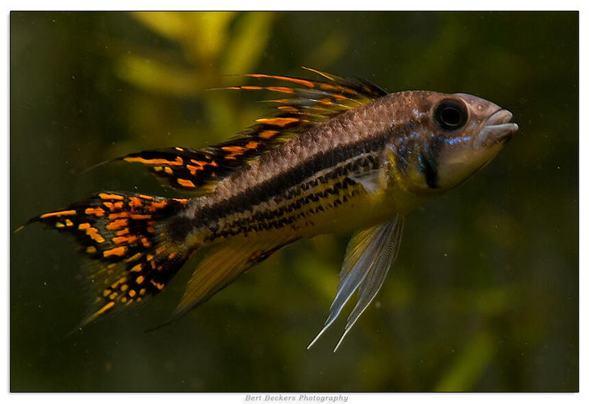 Rated #3: Freshwater Fish - Apistogramma Cacatuoides - Double Full Red Cockatoo Cichlid Stocking In 50 Gallons Tank - Apistogramma Cacatuoides Double Red