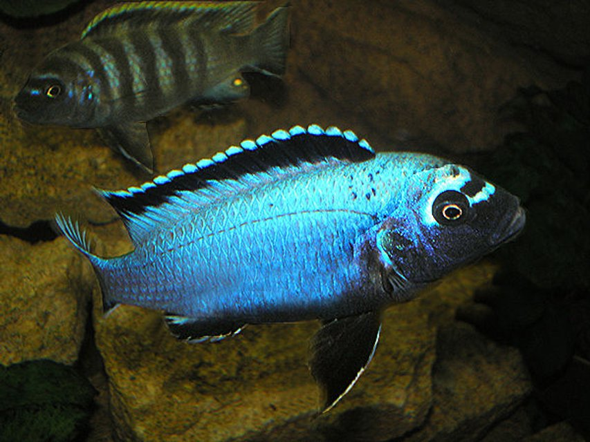 "Rated #28: Freshwater Fish - Metriaclima Sp. Stocking In 63 Gallons Tank - ""Membe Deep"" Maingano - Dominant Male"