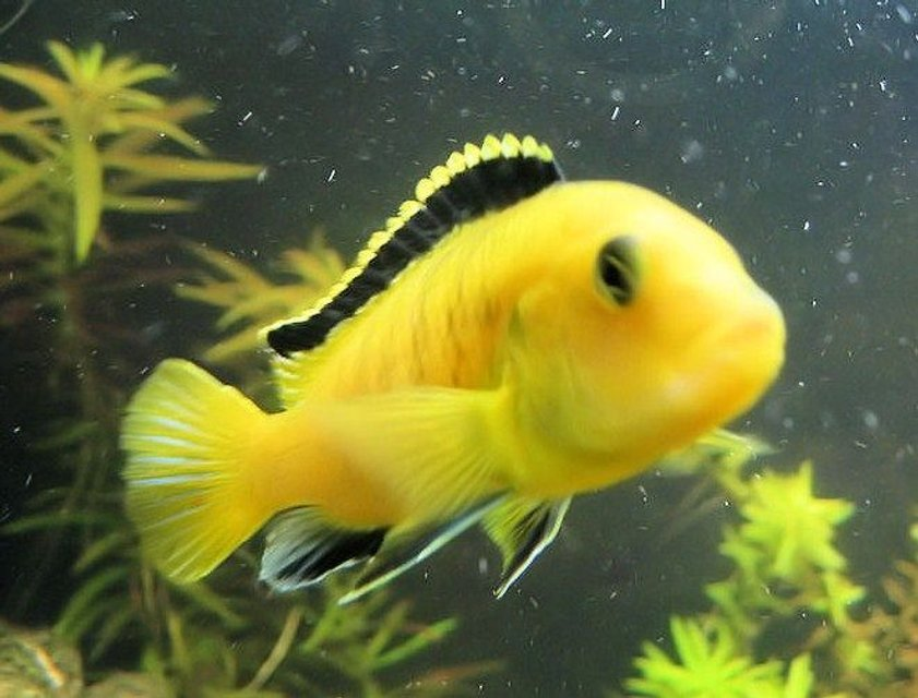 Rated #29: Freshwater Fish - Labidochromis Caeruleus - Electric Yellow Cichlid Stocking In 75 Gallons Tank - electric yellow