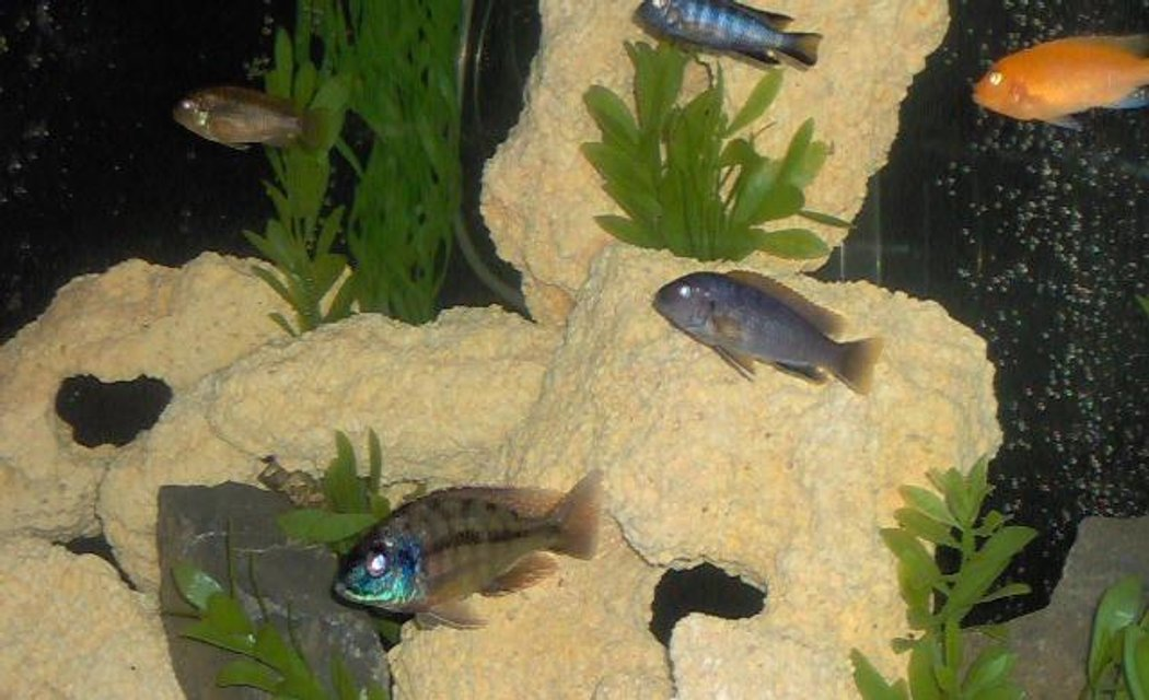 Rated #94: Freshwater Fish - Nimbochromis Venustus - Venustus Cichlid Stocking In 55 Gallons Tank - Cichlids