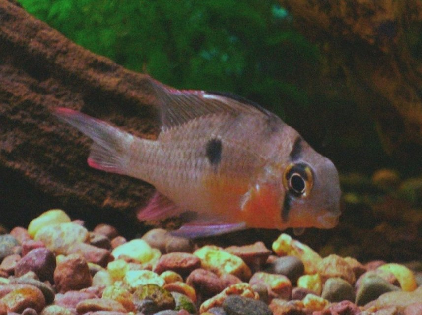 Rated #92: Freshwater Fish - Microgeophagus Altispinosa - Bolivian Ram Stocking In 30 Gallons Tank - Bolivan Ram