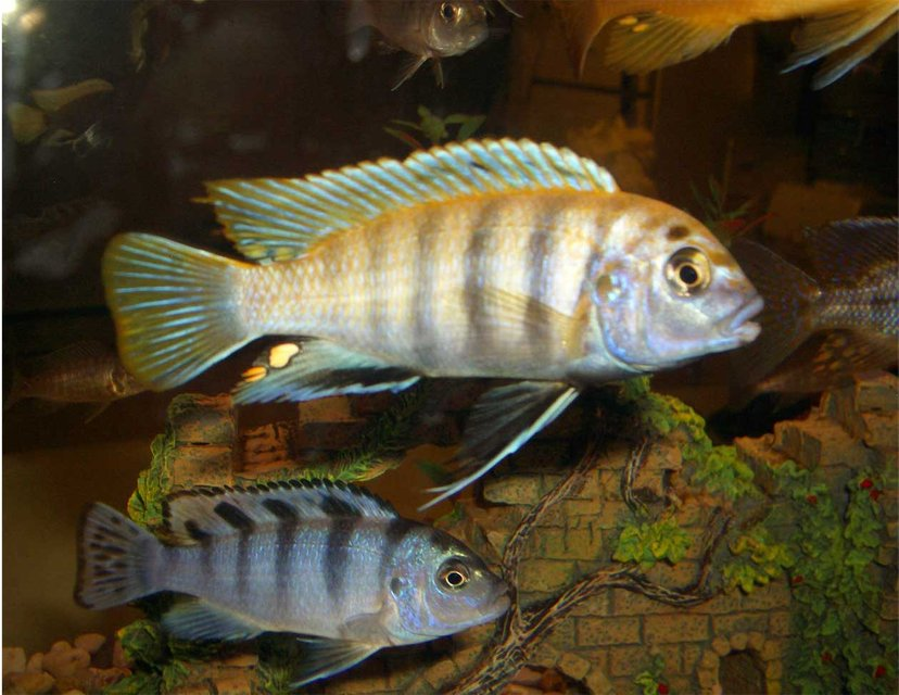 Rated #70: Freshwater Fish - Labidochromis Sp. - Hongi Stocking In 33 Gallons Tank - my fav in my cichlid tank!