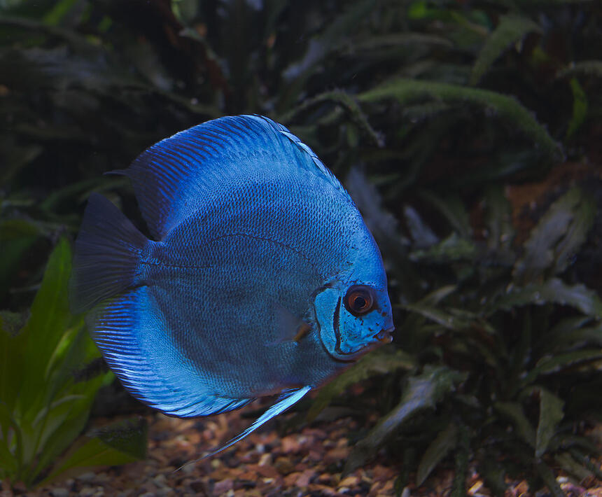 Rated #8: Freshwater Fish - Symphysodon Sp. - Blue Diamond Discus Stocking In 180 Gallons Tank - Blue Discus