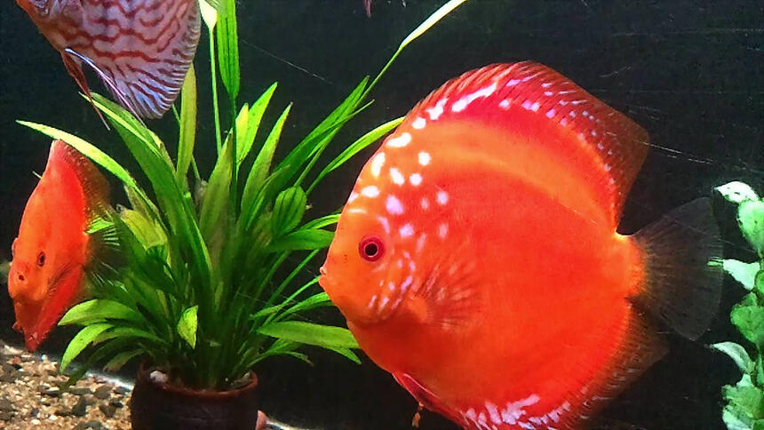 Rated #2: Freshwater Fish - Symphysodon Sp. - Red Marlboro Discus Stocking In 20 Gallons Tank - See my red malboro Discus