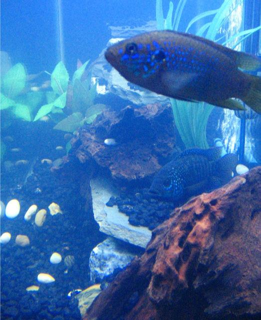 Rated #79: Freshwater Fish - Nandopsis Octofasciatum - Jack Dempsey Stocking In 55 Gallons Tank - Neon Blue Jewel & Female JD.