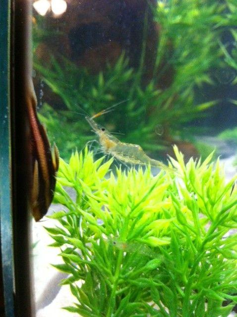Rated #74: Freshwater Fish - Platyodras Armatulus - Striped Raphael Cat Stocking In 55 Gallons Tank - stripped ralph and ghost
