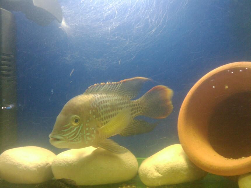 Rated #76: Freshwater Fish - Aequidens Rivulatus - Green Terror Stocking In 20 Gallons Tank - my love