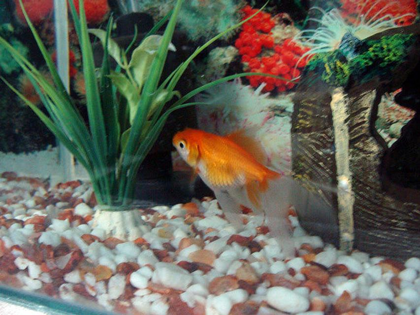 Rated #106: Freshwater Fish - Carassius Auratus - Red Ryukin Goldfish Stocking In 40 Gallons Tank - gold fish