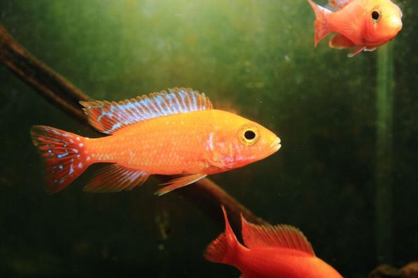 Rated #57: Freshwater Fish - Aulonocara Hansbaenschi - Firebird Cichlid Stocking In 10 Gallons Tank - fire bird