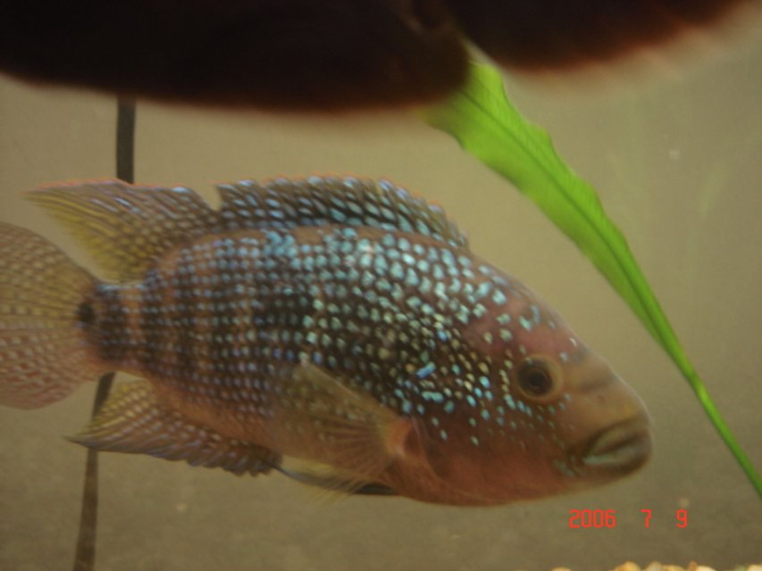 "Rated #72: Freshwater Fish - Nandopsis Octofasciatum - Jack Dempsey Stocking In 55 Gallons Tank - My 8"" Jack Dempsey"