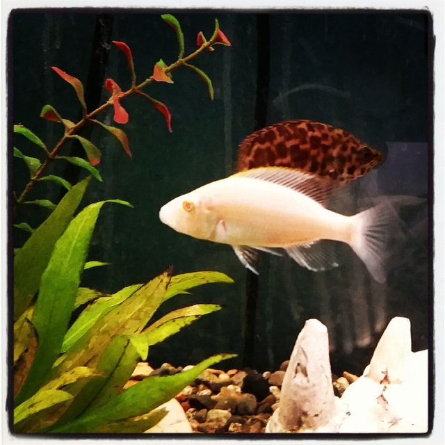 Rated #43: Freshwater Fish - Aulonocara Sp. - Albino Strawberry Peacock Stocking In 85 Gallons Tank - New member