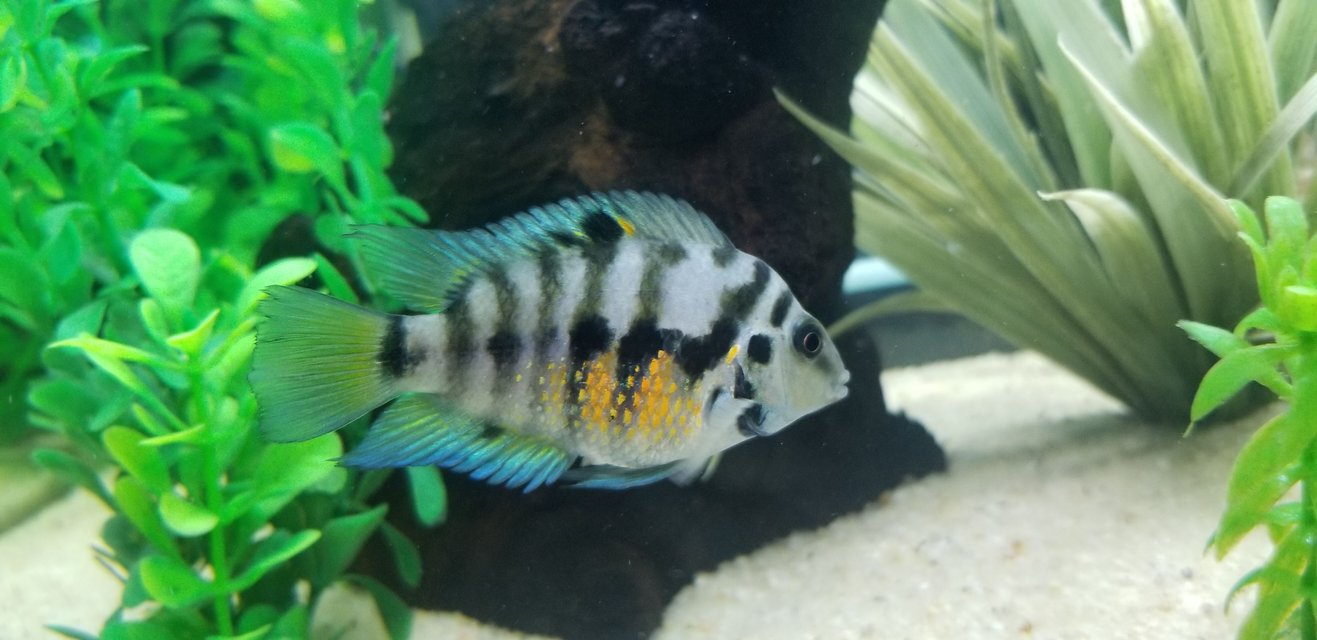 Rated #3: Freshwater Fish Stocking In 55 Gallons Tank - My female Convict cichlid.