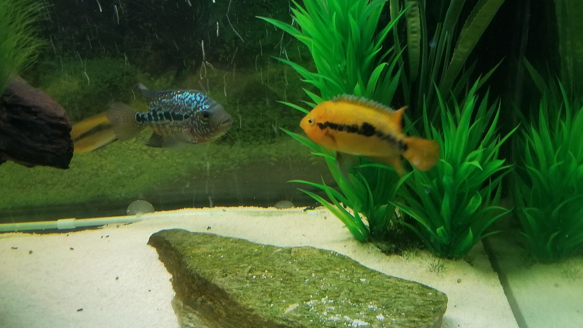 Rated #2: Freshwater Fish Stocking In 125 Gallons Tank - Rainbow Cichlid (male)