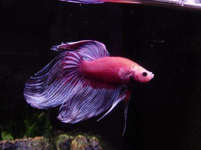Rated #73: Freshwater Fish - Betta Splendens - Betta - Male Stocking In 55 Gallons Tank - two year old betta