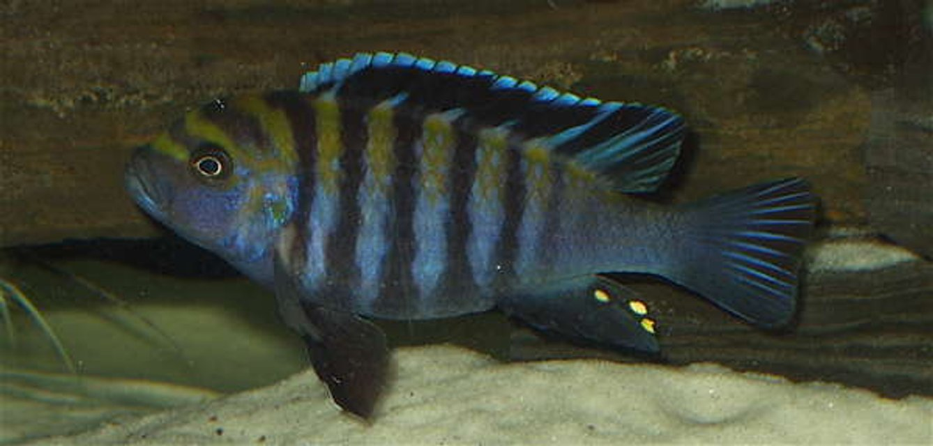 Rated #95: Freshwater Fish - Cynotilapia Afra - Afra Cichlid Stocking In 120 Gallons Tank - Anyone know the name of this guy?