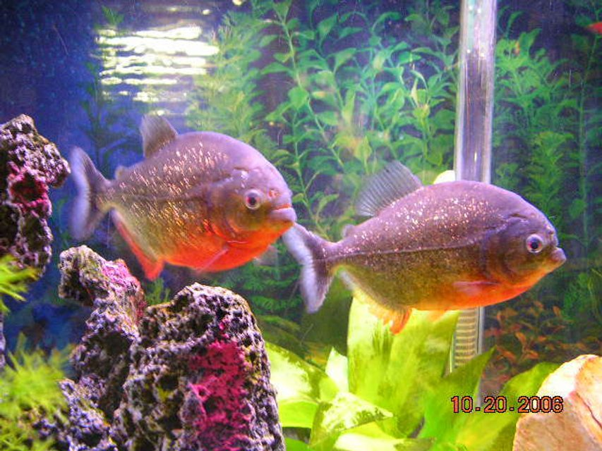 "Rated #52: Freshwater Fish - Pygocentrus Nattereri - Redbellied Pirhana Stocking In 55 Gallons Tank - two 6"" red belly peranah"