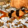 freshwater fish - botia macracantha - clown loach stocking in 18 gallons tank - Clown Loach (Chromobotia Macracanthus)