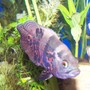 freshwater fish - astronotus ocellatus - tiger oscar stocking in 125 gallons tank - feed me