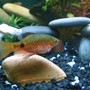 freshwater fish - puntius conchonius - rosy barb stocking in 24 gallons tank - Rosey Barb
