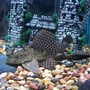 freshwater fish - glyptoperichthys gibbiceps - sailfin pleco (l-83) stocking in 50 gallons tank - 2 & a half year old sailfin Plecostamus..