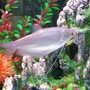 freshwater fish - trichogaster microlepis - moonlight gourami - Moonlight Gourami..