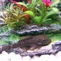 freshwater fish - ancistrus sp. - bushy nose pleco - Bristlenose Catfish..(Female)..