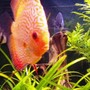 freshwater fish - symphysodon sp. - red leopard discus stocking in 98 gallons tank - Inquisetive Discus.