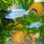 freshwater fish - sciaenochromis fryeri - electric blue hap stocking in 70 gallons tank - cichlid
