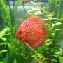 freshwater fish - symphysodon spp. - snakeskin discus stocking in 85 gallons tank - my discus 3