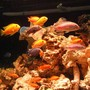 freshwater fish - labidochromis caeruleus - electric yellow cichlid stocking in 32767 gallons tank - group of malawi cichlids looking for dinner