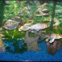 freshwater fish - metynnis argenteus - silver dollar stocking in 30 gallons tank - Koi and Silver Dollar tank
