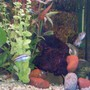 freshwater fish - pelvicachromis pulcher - kribensis cichlid stocking in 40 gallons tank - Keyholes and Krib