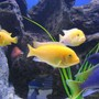 freshwater fish - pseudotropheus estherae - red zebra cichlid stocking in 225 gallons tank - Red Zebras