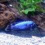 freshwater fish - metriaclima sp. - msobo magunga stocking in 90 gallons tank - African Cichlid,,Metriaclima Msobo- deep tanzania I think? He comes yellow as a fry and turns these awesome blues as he matures..my favorite cichlid in my tank!