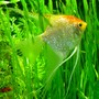 freshwater fish - pterophyllum sp. - gold veil angel stocking in 75 gallons tank - Angelfish