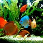 freshwater fish - symphysodon spp. - neon blue discus stocking in 50 gallons tank - discus tank