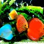 freshwater fish - symphysodon sp. - red leopard discus stocking in 50 gallons tank - baby