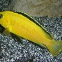 freshwater fish - labidochromis caeruleus - electric yellow cichlid stocking in 180 gallons tank - Electric Yellow Lab (Labidochromis caeruleus)