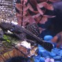 freshwater fish - ancistrus sp. - bushy nose pleco l-144 stocking in 55 gallons tank - Bristlenose Pleco