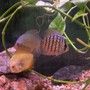 freshwater fish - symphysodon sp. - yellow marlboro discus stocking in 55 gallons tank - discus fish in my tank