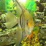 freshwater fish - pterophyllum sp. - silver zebra angel stocking in 110 gallons tank - the big angel