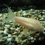 freshwater fish - corydoras aeneus - albino aeneus cory cat stocking in 110 gallons tank - the albino cat fish