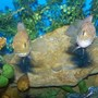 freshwater fish - nandopsis octofasciatum - jack dempsey stocking in 90 gallons tank - both of my demsies