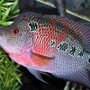 freshwater fish - cichlasoma sp. - flower horn cichlid stocking in 135 gallons tank