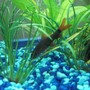 freshwater fish - epalzeorhynchos frenatus - rainbow shark stocking in 25 gallons tank - Rainbow shark
